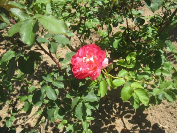 Red Rose at college