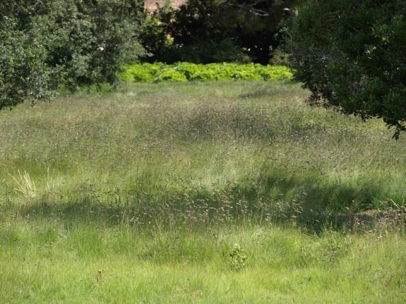 Blue Gramma Grass Meadow by MLA
