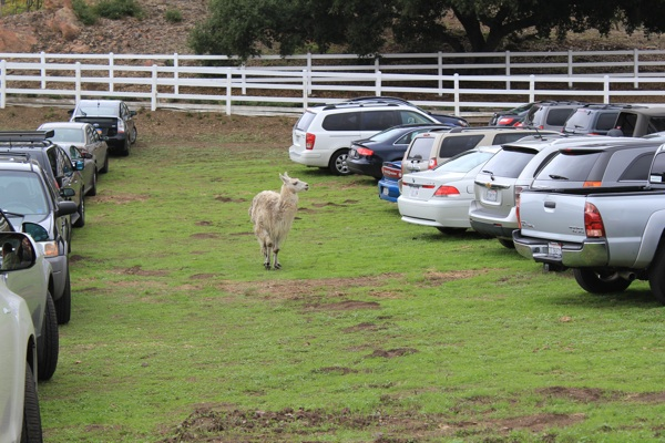 A llama searches for his car in the parking lot.