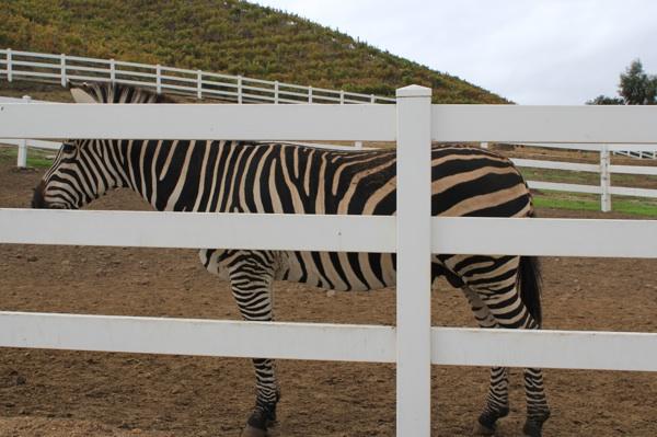 Zebras at Saddlerock Ranch - a wonderful surprise!