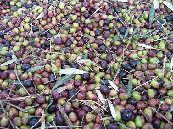 Olive-Harvest-042