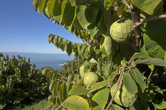 Bays cherimoyas on the tree at Anthony Brown's Rincon Del Mar Ranch in Carpinteria. 2/25/13 © David Karp