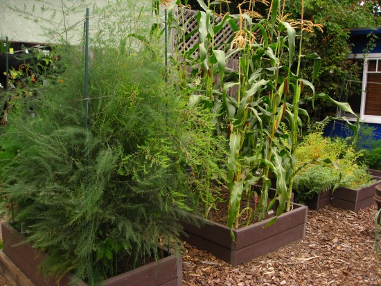 Asparagus, corn and garbanzo beans in Christy Wilhelmi's edible garden.