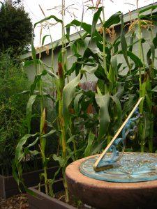 Popping corn in Christy's garden.