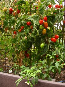 Tomatoes and peppers.