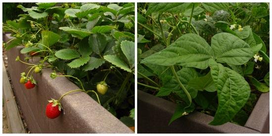 strawberries and haricot vert