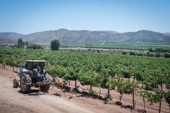 Vineyards in the Valle de Guadalupe.