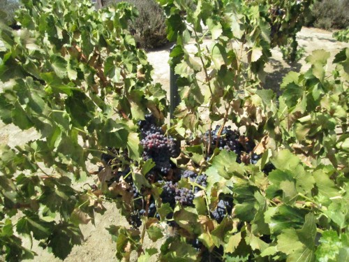 Grenache grapes awaiting harvest