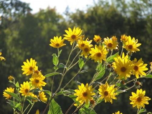 sunchokeflower2