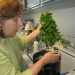 Myrna Meyers, an Orthodox Jewish biology professor at USC, checking organic mint for non-kosher bugs