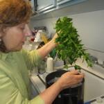 Myrna Meyers, an Orthodox Jewish biology professor at USC, checking organic mint for non-kosher bugs