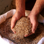 Tehachapi Grain Project - Heirloom Grains