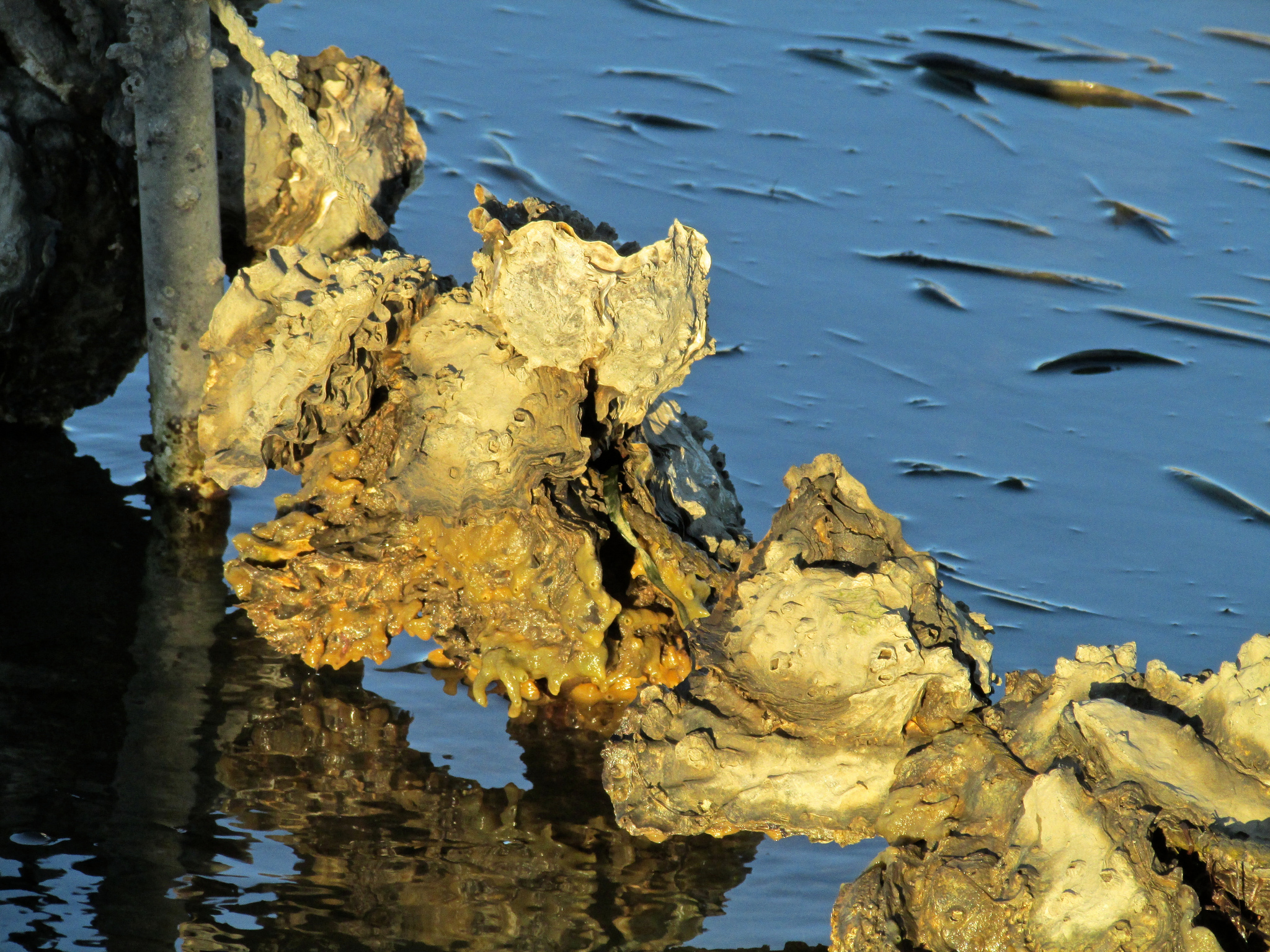 Willapa Bay Oysters detail
