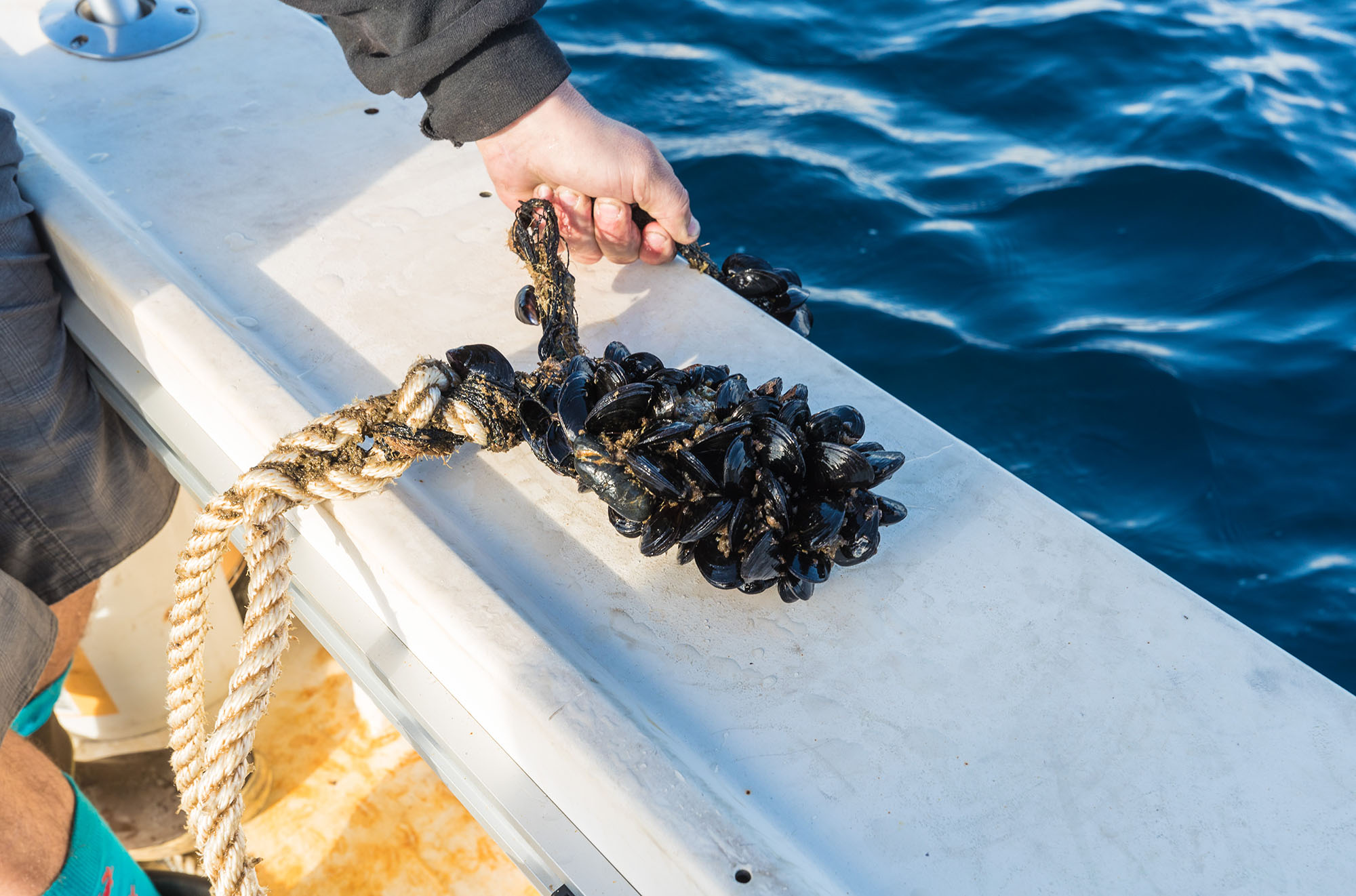 how to grow sea mussels