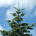 Wild Noble Fir Top