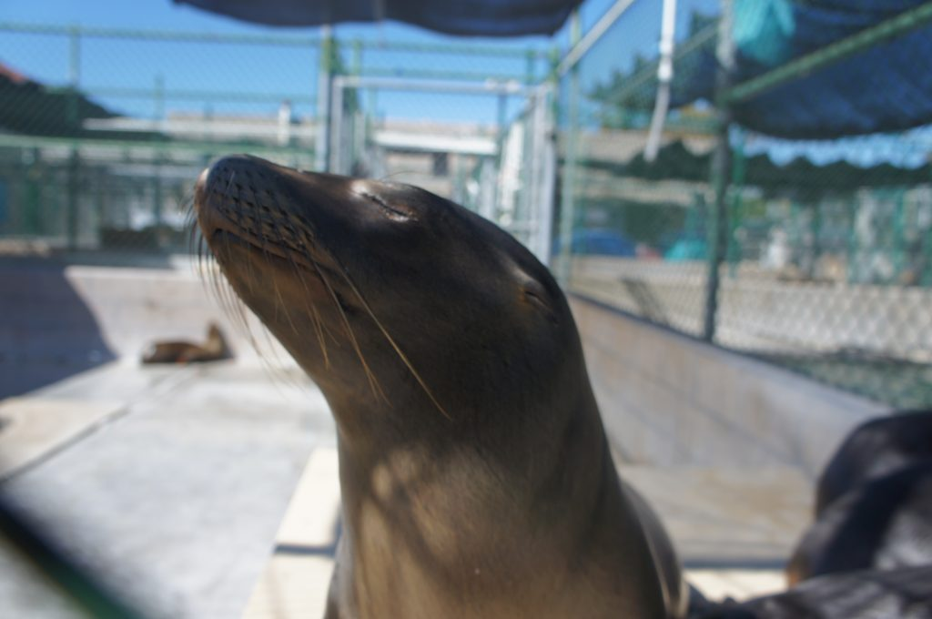 In the United States, sea lions are protected by the Marine Mammal Protection Act of 1972, which outlaws their hunting, killing or harrassment.