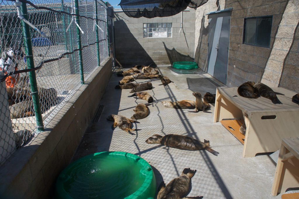 The Marine Mammal Care Center is care for an unusually large number of sick and malnourished seals, particularly young seal pups.