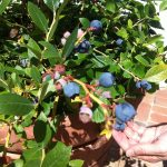 The blueberries remind Max of his summers as a kid in Fire Island