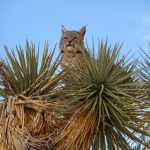 A bobcat sits in a Joshua tree near Joshua Tree National Park.  Photo courtesy of Annica Kreuter.