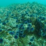 Urchin barren off the coast of Palos Verdes. BY TOM FORD / SMBRF