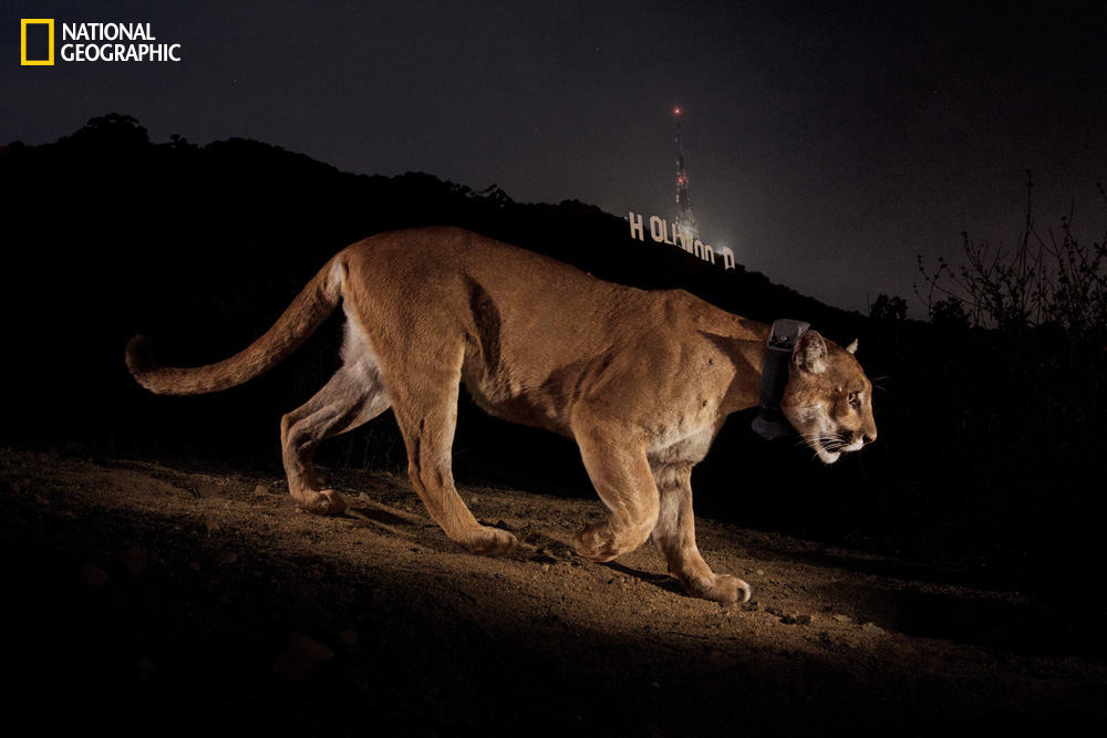 Photo by Steve Winter/National Geographic A hidden camera records Hollywood's most reclusive star—this male cougar first seen in Griffith Park in Los Angeles almost two years ago. A radio collar tracks his moves, but residents see scant sign of him.
