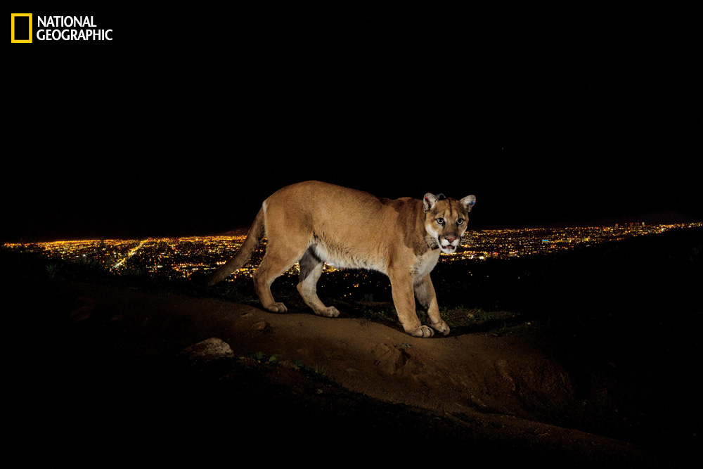 Photographed on a ridge above Los Angeles, a male cougar labeled P22 made his way from the Santa Monica Mountains to Griffith Park—an island of habitat surrounded by homes and highways.