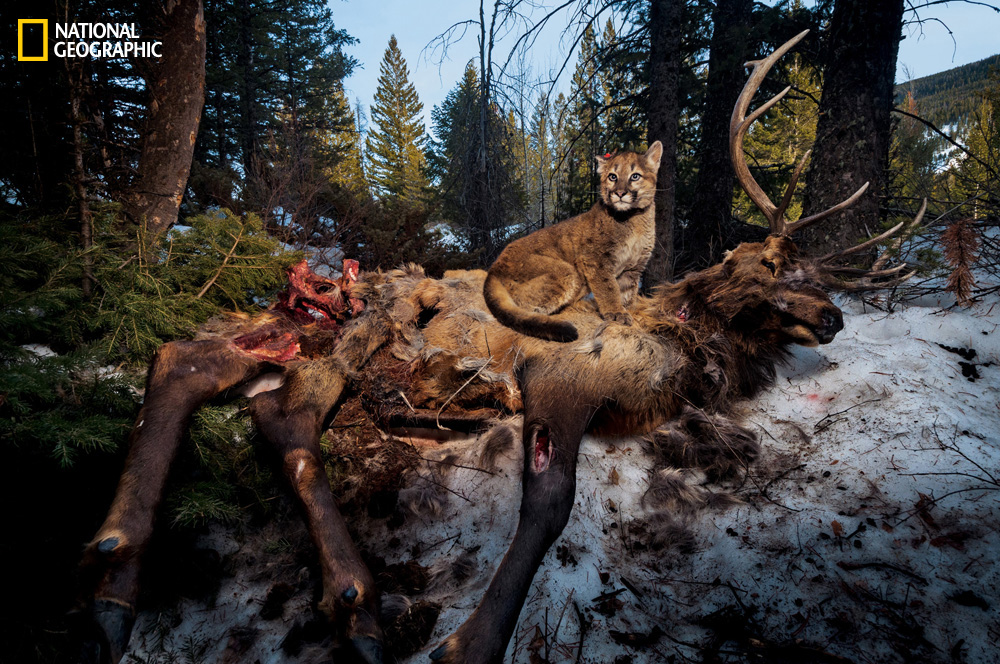 Photo by Steve Winter/National Geographic Perched atop dinner, this four-month-old kitten survived a wolf attack that killed two littermates, earning her the nickname bestowed by Teton Cougar Project researchers: Lucky.