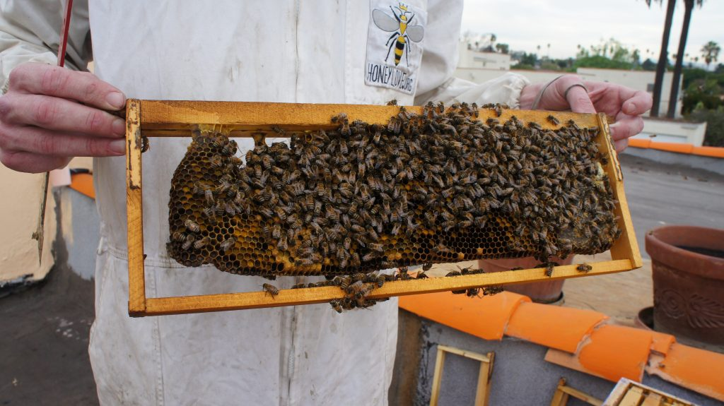 "McFarland shows off bees and a rack of their honeycombs. From just this one hive, with its 50,000 honeybees, McFarland says he can harvest 30 to 40 pounds of honey.  McFarland calls L.A. a ""bee nirvana."" with as many as a dozen hives per square mile in some places.  Why the big bee populations?  It's partly because of the quantity of well-irrigated gardens  rich in nectar and pollen in the city and the relative lack of harmful pesticides in the air compared to agricultural areas. (Photo by Saul Gonzalez)"