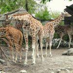 Via Wikipedia: Copenhagen Zoo, Frederiksberg, Copenhagen, Denmark.