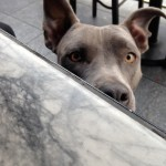 You'll find pitbull-weimaraner mix Gryphon Vesper Battina in downtown L.A.  Photo: Jessica Ikenberry