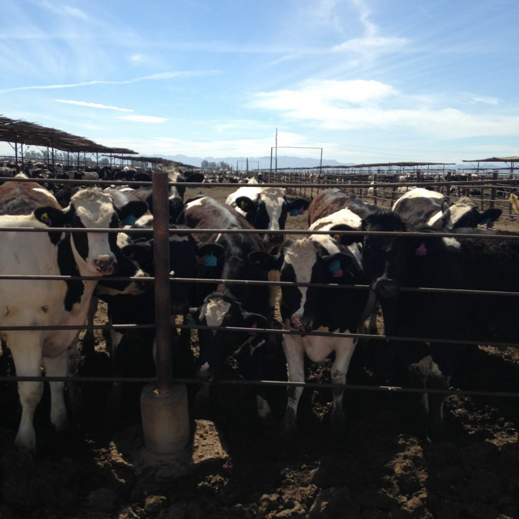 Cattle graze on an Imperial Valley feedlot. Photo by Caitlin Esch.