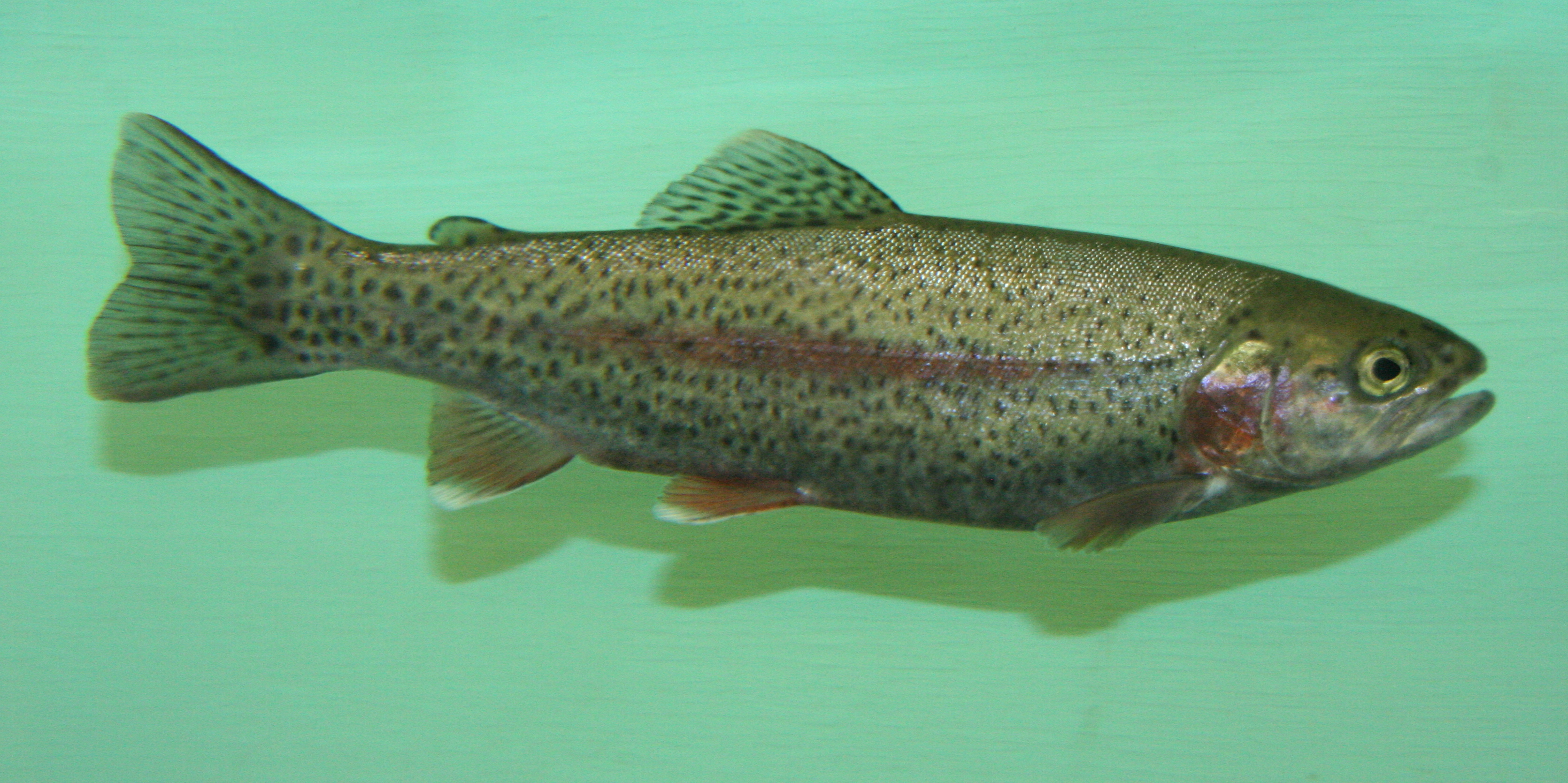 Getting into top u c schools is tougher than ever for for Steelhead fishing california