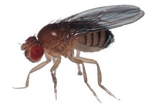 The humble Drosophila melanogaster - the fruit fly.