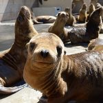Malnourished sea lion pups recover at the Marine Mammal Care Center